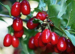 Cornel Cherries